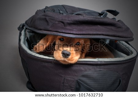 English cocker spaniel dog sleep in photographer backpack with lens #1017632710