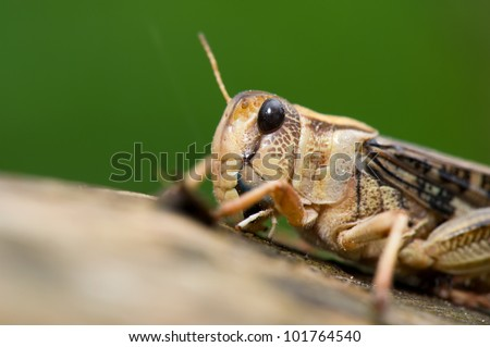 Cricket insect on tree
