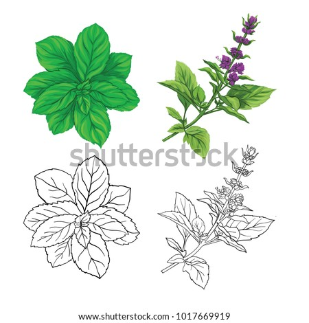 Set of color and outline images of a thai basil and mint. Hand drawn colorful vector illustration without transparent and gradients. #1017669919