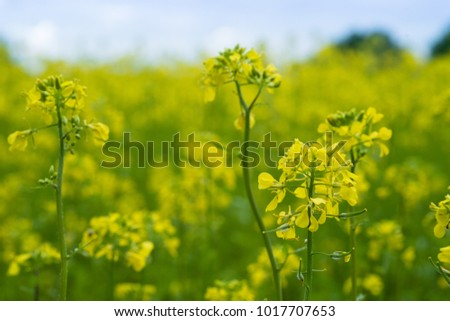 Mustard plants with green pods and beautiful yellow flowers at the farm #1017707653