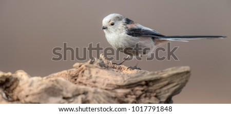 Long-tailed Tit (Aegithalos caudatus)..Bird of Europe.Poland #1017791848