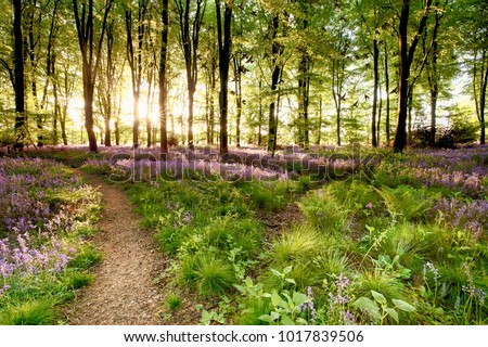 Bluebell woods with birds flocking through the trees duing early morning sunrise. Magical forest with paths leading through the beautiful flowers in spring time. Royalty-Free Stock Photo #1017839506