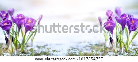 Crocus flower in sonw in the morning #1017854737