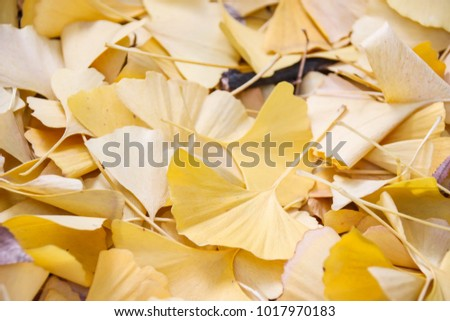 Yellow Ginkgo leaves fallen on the ground, Osaka, Japan #1017970183