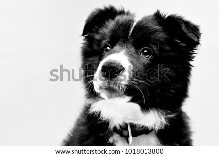 Portrait of a cute little puppy border collie with a collar, black and white picture