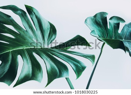Real monstera leaves decorating for composition design.Tropical,botanical nature concepts ideas. Royalty-Free Stock Photo #1018030225