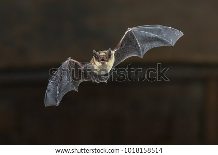 Pipistrelle bat (Pipistrellus pipistrellus) flying on wooden ceiling of house in darkness #1018158514