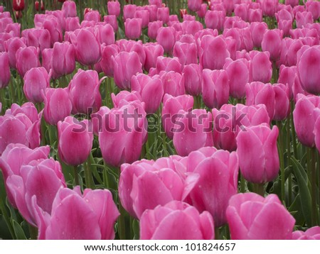 Tulip fields in the Netherlands near Keukenhof
