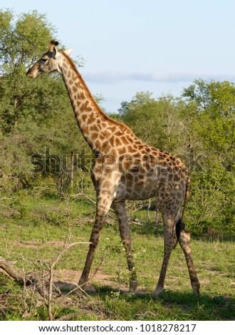 African giraffe on the ground #1018278217