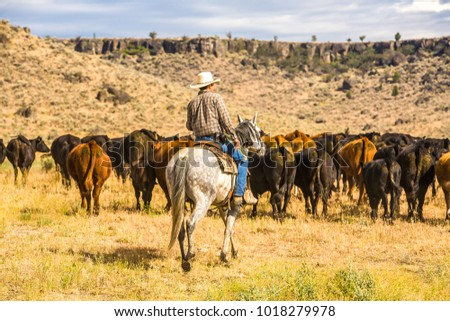 A cowboy and his dog moving a herd of cattle to another pasture on a ranch near Paulina, Oregon