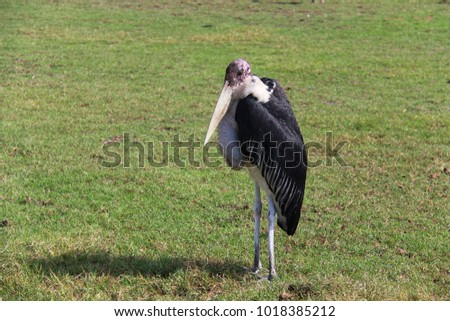 The giant bird Asian open billed stand on the green grass natural concept #1018385212