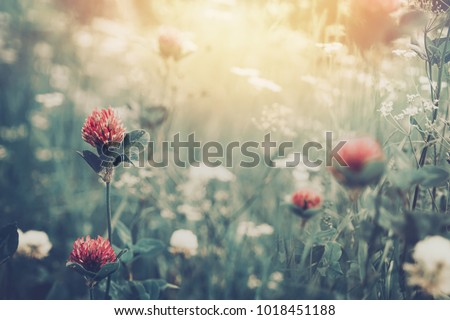 Beautiful spring summer background with wild meadow grass and clover flowers in the rays of sunset. Clover flowers close-up macro in nature on a natural background, soft focus #1018451188