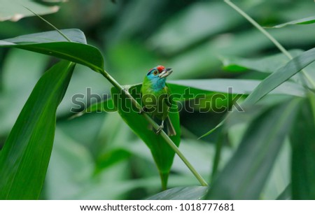 Blue-throated Barbet perching on tree in nature (Megalaima asiatica) #1018777681