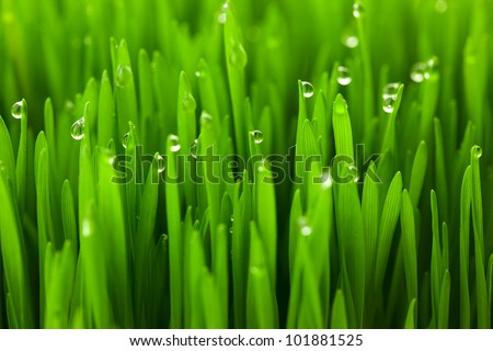 Fresh green wheat grass with drops dew / macro background #101881525