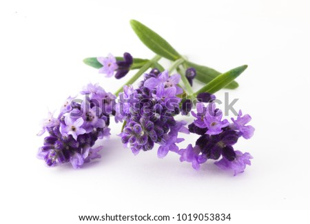 Lavender flowers in closeup. Bunch of lavender flowers isolated over white background. #1019053834