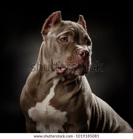 Bully dog portrait on a dark grey background