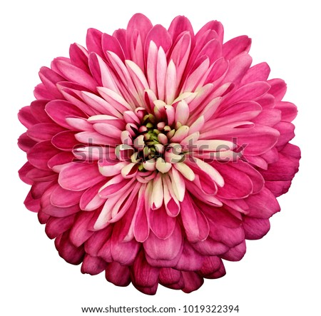 Chrysanthemum   bright pink  flower. On white isolated background with clipping path.  Closeup no shadows. Garden  flower.  Nature.