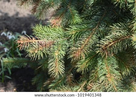 Spring Sun scald on evergreen tree, Blue spruce. #1019401348