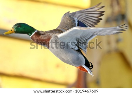 Male mallard duck flying past. #1019467609