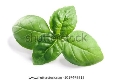 Basil leaves (Ocimum basilicum), fresh leaves. Clipping paths, shadows separated #1019498815