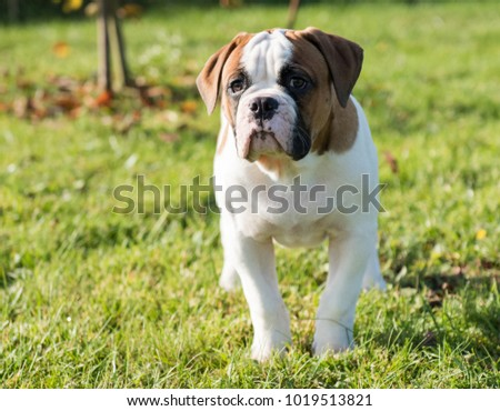 Funny nice red American Bulldog puppy on nature #1019513821