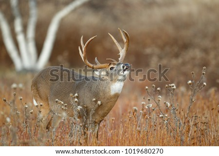 A white-tailed deer standing in a meadow lip curling Royalty-Free Stock Photo #1019680270