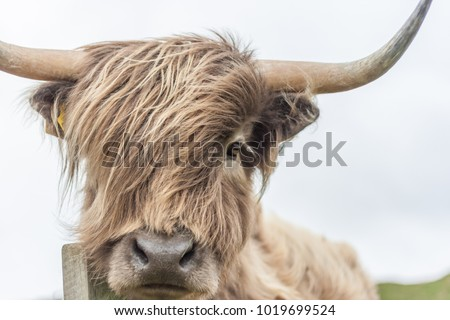 Highland Cow with wind blowingin hair Royalty-Free Stock Photo #1019699524