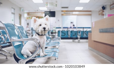 West high white terrier waiting for examination at the vet clinic. Royalty-Free Stock Photo #1020103849