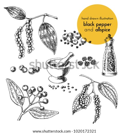hand drawn vector illustration of herbs and spices. Vintage graphic set illustration of black pepper and allspice. set of fruits and herbs spices Royalty-Free Stock Photo #1020172321