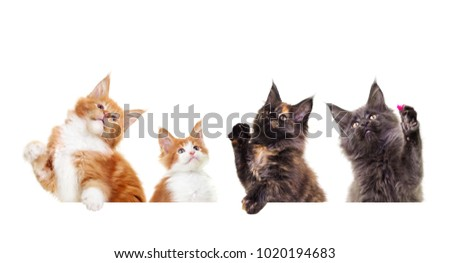 Maine Coon kittens raise their paws up #1020194683