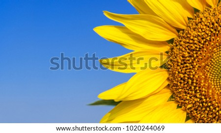 Close-up of Beautiful sunflower blossom on blue sky #1020244069