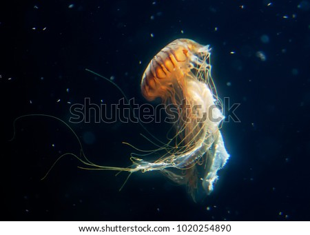 big jellyfish  marine Royalty-Free Stock Photo #1020254890