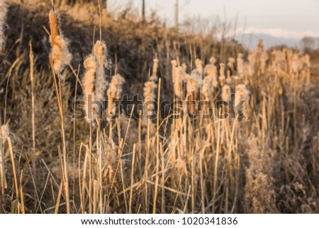 beautiful close up of reeds at tender sunset light. Brown fluffy heads of bulrush lit with defocused cane bush on the background #1020341836