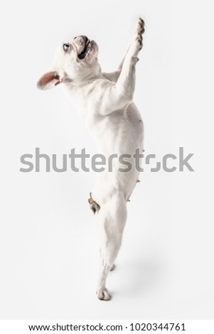 side view of adorable french bulldog standing on paws and looking up isolated on white    #1020344761