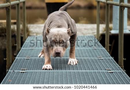 Angry Pitbull American Bully