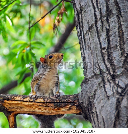 Grey Squirrel on the tree looking curious #1020453187