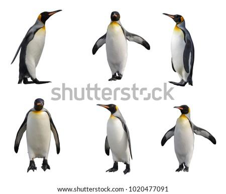 King penguin set isolated on white
