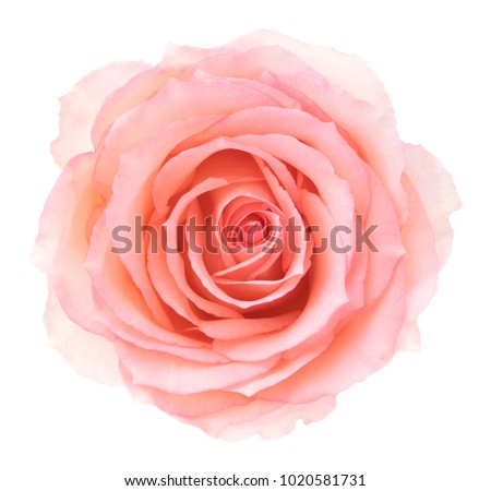Pink rose. Deep focus. No dust. No pollen. #1020581731