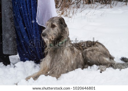 Irish Wolfhound laying down at attention #1020646801