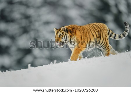 Siberian tiger, Panthera tigris altaica, low angle photo in direct view, running in the water directly at camera with water splashing around. Attacking predator in action. Tiger in taiga environment. #1020726280