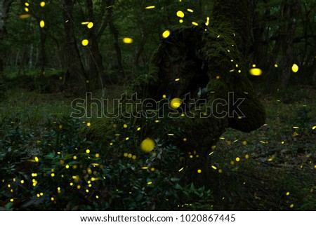 Many fireflies in the summer at the fairy forest.