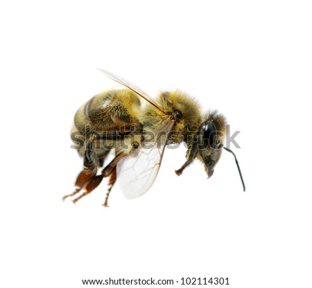 bee isolated on the white #102114301