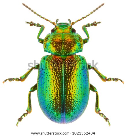 Leaf beetle Chrysolina graminis isolated on white background, dorsal view of beetle. Close-up of tansy beetle. Royalty-Free Stock Photo #1021352434