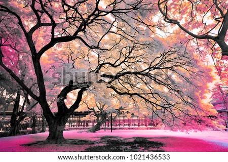 magic color Claw Tree in the Park : infrared photography process to look like a magic / dream.