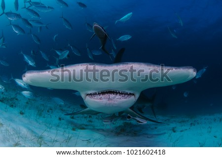 Closeup Shot of Hammerhead Shark Swimming towards You in Clear Waters of Bahamas #1021602418