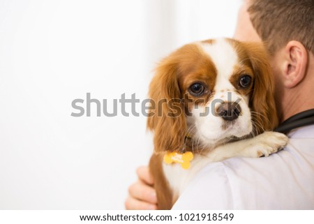 Cropped close up of a cute cavalier king charles spaniel in the hands of a male vet wearing white labcoat copyspace medicine healthy puppies dogs love profession occupation job pet care. #1021918549
