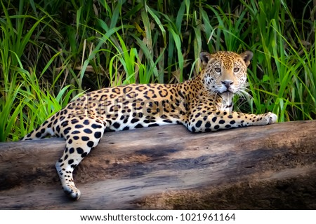 A Jaguar relaxes on a tree trunk on the banks of the Tambopata river, in the Peruvian Amazon #1021961164