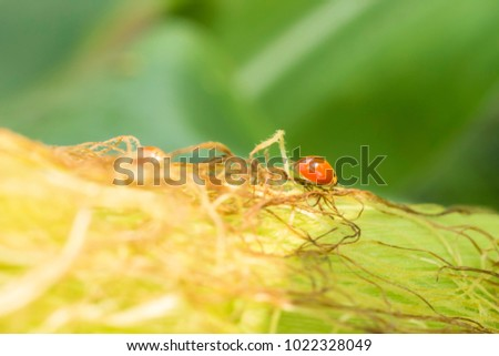 natural beetle hunting aphid on corn silk #1022328049