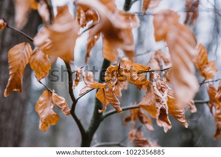 Dry Brown Leaves attached to a Branch in Autumn Winter #1022356885