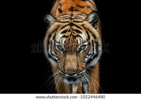 Malayan Tiger Royalty-Free Stock Photo #1022446480